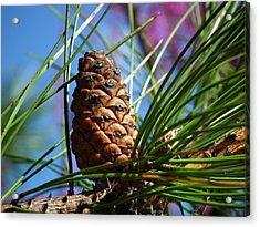 Perfect Pine Acrylic Print by Linda Koester