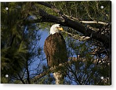 Picture Perfect Bald Eagle Acrylic Print by Joe Gee