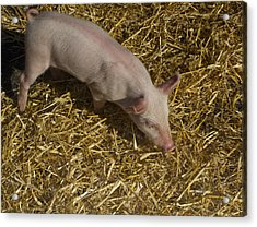 Pig. Yummy Roasted Acrylic Print by Michael Clarke JP