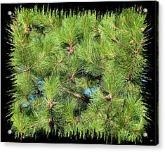 Pine Cones And Needles Acrylic Print by Will Borden