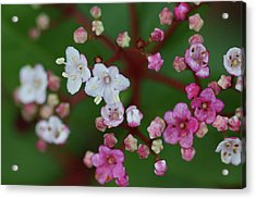 Pink And White Flowers Acrylic Print by Picture By La-ong