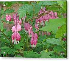 Pink Bleeding Heart Flowers - Dicentra Spectabilis Acrylic Print by Mother Nature