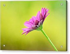 Pink Chrysanthemum On Yellow Background Acrylic Print by Hegde Photos