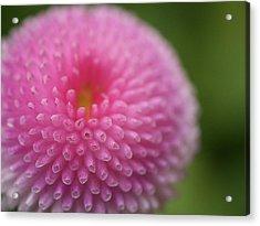 Pink Daisy Flower Acrylic Print by Myu-myu