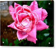 Pink Double Knockout Rose Acrylic Print by David G Paul