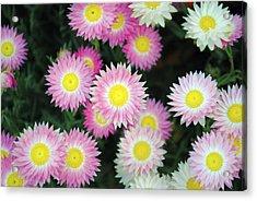 Pink Flowers Acrylic Print by Sumit Mehndiratta