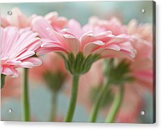 Pink Gerbera Daisies Acrylic Print by Mary Smyth