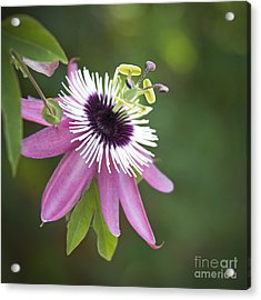Pink Passion Flower Acrylic Print by Glennis Siverson