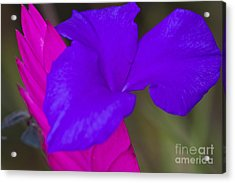 Pink Quill Acrylic Print by Heiko Koehrer-Wagner