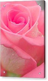 Pink Rose Acrylic Print by Atiketta Sangasaeng