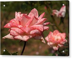 Pink Rose Flowers 1 Acrylic Print by Johnson Moya