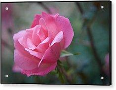 Pink Rose Acrylic Print by Kelly Rader