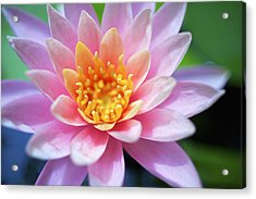 Pink Water Lily Acrylic Print by Kicka Witte