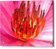 Pink Water Lily Acrylic Print by Sumit Mehndiratta