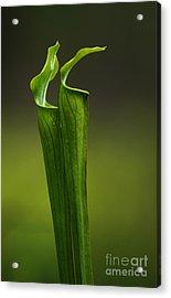 Pitcher Plants 2 Acrylic Print by Bob Christopher