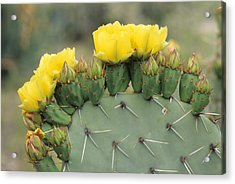Plains Prickly Pear Blossoms Acrylic Print by Rich Reid