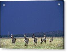 Plains Zebra Equus Burchelli In Chobe Acrylic Print by Beverly Joubert