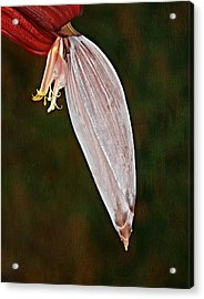 Plantain Bloom Acrylic Print by Susan Candelario