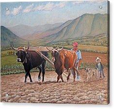 Ploughing In Ocotlan Acrylic Print by Judith Zur