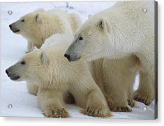 Polar Bear And Two Large Cubs Sniffing Acrylic Print by Norbert Rosing