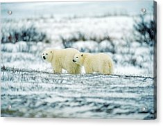 Polar Bears, Churchill, Manitoba Acrylic Print by Mike Grandmailson