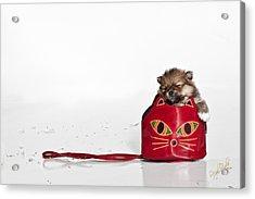 Pomeranian 2 Acrylic Print by Everet Regal