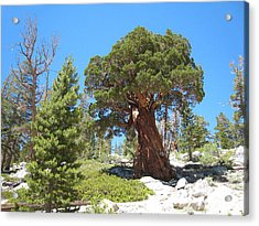 Ponderosa Pine Acrylic Print by Kirk Williams