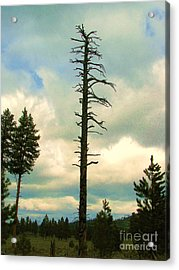 Ponderosa Pine Snag Acrylic Print by Michele Penner