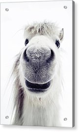 Pony Looking Into Camera Acrylic Print by Elke Vogelsang