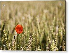 Poppy Flower In Field Of Wheat Acrylic Print by John Short