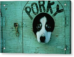 Porky Is One Of Jan Masseks Race Dogs Acrylic Print by Chris Johns