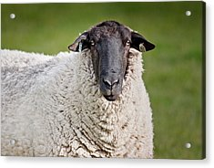 Portrait Of A Sheep Acrylic Print by Greg Nyquist