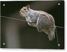 Portrait Of An Eastern Gray Squirrel Acrylic Print by Chris Johns