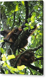 Portrait Of An Orangutan With Her Two Acrylic Print by Tim Laman