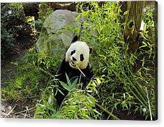 Posing Panda Acrylic Print by John  Greaves