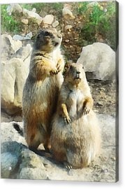 Prairie Dog Formal Portrait Acrylic Print by Susan Savad
