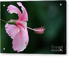 Pretty Pink Hibiscus Acrylic Print by Sabrina L Ryan
