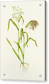Proso Millet (panicum Miliaceum), Artwork Acrylic Print by Lizzie Harper