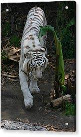 Prowling Acrylic Print by Stephanie Hopkins