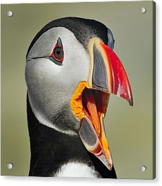 Puffin Portrait Acrylic Print by Tony Beck