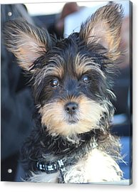 Puppy Eyes Acrylic Print by Static Studios