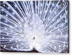 Pure Acrylic Print by Eric Chapman