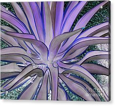 Purple Aloe Acrylic Print by Rebecca Margraf