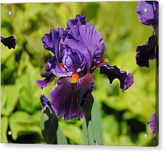 Purple And Orange Iris Flower Acrylic Print by Jai Johnson