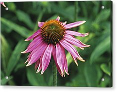 Purple Coneflower Acrylic Print by Duncan Smith