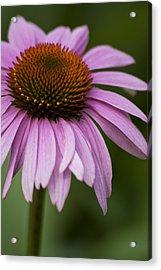 Purple Coneflower Acrylic Print by Jason Pryor