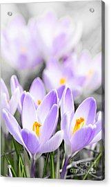 Purple Crocus Blossoms Acrylic Print by Elena Elisseeva