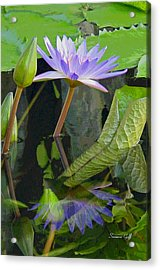 Purple Lotus Acrylic Print by Suzanne Gaff