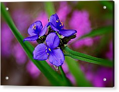 Purple Passion Acrylic Print by Marty Koch
