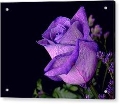 Purple Rose Acrylic Print by Darren Fisher